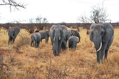 IMGP0522 (b kwankin) Tags: africa elephant landscape tanzania tarangire