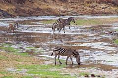 IMGP0451 (b kwankin) Tags: africa landscape tanzania tarangire zebra