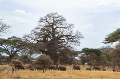 IMGP0340 (b kwankin) Tags: africa baobab elephant landscape tanzania tarangire