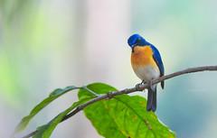 Tickel's Blue (theviewfinder) Tags: nikon nikon300mmf4 d3s midhun midhunthomas midhunjohnthomas birds birdphotography wayanad kerala