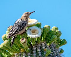 Gila Woodpecker (Melanerpes uropygialis) (francisgmorgan) Tags: gilawoodpecker woodpecker woodpeckerfeeding malegilawoodpecker saguarocactus blossom cactusflower