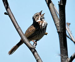 Song Sparrow (Rick Burbidge) Tags: birds whitethroatedsparrow