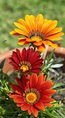 Flowers (akatsoulis) Tags: nikoneurope nikonuk nikkor bees nikkor50mm14g d5300 nikon alexkatsoulis sunnyday garden greece xanthi flowerpot flowers pollen