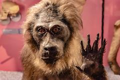 38-Macaque (Alain COSTE) Tags: bordeaux gironde france jardinpublic museum 2019 nikon