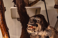 28-Gorille (Alain COSTE) Tags: bordeaux gironde france jardinpublic museum 2019 nikon