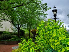 green saucers (ekelly80) Tags: dc washingtondc april2019 spring smithsonian gardens green flowers saucers plant