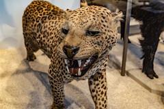 22-Panthère ou léopard ?? ... je ne sais plus !! (Alain COSTE) Tags: jardinpublic bordeaux gironde france museum 2019 nikon