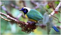 Quin Quin, Cyanocorax yncas, Inca Jay. San Isidro, Napo, Ecuador (manuelespinosa10) Tags: cyanocorax yncas inca jay
