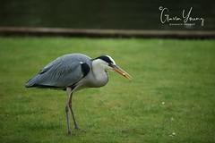 heron lawn 2 (Gavin E Young) Tags: heron grey bird feeding canon 5ds