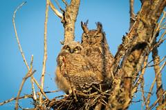 My, You Have Grown! (Don Dunning) Tags: animals birds bubovirginianus california canon7dmarkii canonef100400mmisiiusm greathornedowl merced mercednwr nationalwildliferefuge owl unitedstatesofamerica