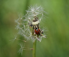 Dandelion (eowina) Tags: dandelion ladybuck nature meadow spring v