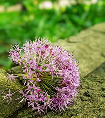 fallen allium (ekelly80) Tags: dc washingtondc april2019 spring flower purple allium fallen park vanness