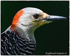 Red-bellied woodpecker, female (RKop) Tags: raphaelkopanphotography nikon 600mmf4evr californiawoodspark ohio cincinnati 14xtciii