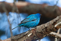 Spring Birds - 2019 (TofteTom) Tags: minnesota birding birds audubon spring northshore cookcounty upnorth superiornationalforest indigobunting bunting