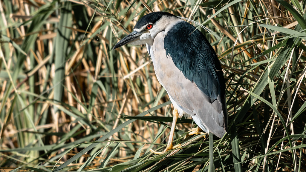 ae2c24032c0 In the Tall Grass, Black crowned Night Heron (Nycticorax nycticorax), Azraq  Wetlands
