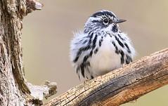 black-and-white warbler at Cardinal Marsh IA 653A8181 (naturalist@winneshiekwild.com) Tags: blackandwhite warbler cardinal marsh winneshiek county iowa larry reis