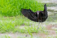 _5ND8049_LR_LOGO (Ray 'Wolverine' Li) Tags: hongkong bird birding birdwatch asia nature wildlife plegadisfalcinellus threskiornithidae pelecaniformes plegadis brauner sichler ibis