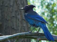 Stellers Jay (starmist1) Tags: bird jay stellersjay blueblack tree willow willowtree weepingwillow branch limb twig perch may sunny warm spring