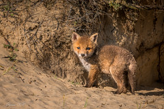 DSC05802 (kerkh30) Tags: fox foxcub wildlife nature lookingout mama