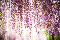 Wisteria Curtain (moaan) Tags: tanba hyogo japan flower flowering flora wisteria springtime may timesofwisteria color richlycolored purple beauty beautyinnature focusonforeground selectivefocus dof bokeh bokehphotography leica leicamp type240 noctilux 50mm f10 noctilux50mmf10 leicanoctilux50mmf10 utata 2019