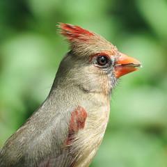 Day 6, female Northern Cardinal / Cardinalis cardinalis, South Texas (annkelliott) Tags: nature bird northerncardinal female