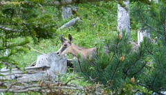 Face à face avec un chamois...une surprise réciproque ! (Mont Ventoux - Vaucluse - 25 juin 2018) (3) (Carnets d'un observateur de la nature du Sud de la) Tags: montventoux nature biodiversité vaucluse provence chamois