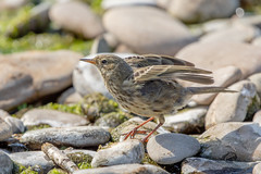 Rock Pipit (Linda Martin Photography) Tags: crookletsbeach wildlife rockpipit nature bird bude anthuspetrosus cornwall uk animal coth naturethroughthelens coth5 alittlebeauty ngc specanimal