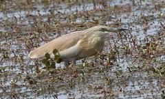 Squacco Heron (Ardeola valloides) (iainrmacaulay) Tags: bird france camargue squacco heron ardeola valloides