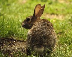 Bunny Bun Bun (Hayseed52) Tags: rabbit cottontail bunny virginia spring