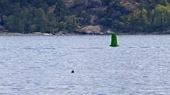 In the distance: Halichoerus grypus - a Grey Seal in the bay Lilla Värtan in Stockholm, swallowing a fish (Franz Airiman) Tags: halichoerusgrypus säl seal sälis sälx grayseal greyseal animal djur stockholm sweden scandinavia wild vild vattendjur mammal watermammal däggdjur vattendäggdjur gråsäl lillavärtan bay fjärd