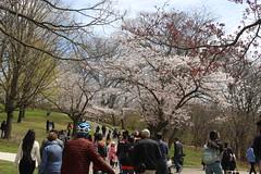 2019 05 11_4831 (djp3000) Tags: tree trees cherryblossom highpark toronto crowds people blossom treeblossom