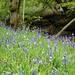 Bluebells at Hardcastle Crags