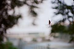 在古代,蜘蛛又被稱作喜蛛。 (Long Tai) Tags: minolta x700 mc rokkor 58mm 112 kodak colorplus 200