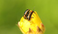 9574 Hydrothassa marginella (jon. moore) Tags: prioryfields warwickshire coleoptera chrysomelidae leafbeetle hydrothassamarginella