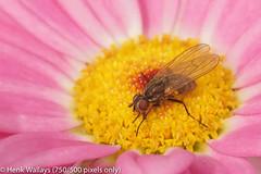 Anthomyiidae species (henk.wallays) Tags: location anthomyiidaespecies europa bellem aaaa tuinbellem belgium vlaanderen oostvlaanderen arthropoda anthomyiidae nature diptera