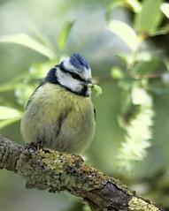 Mésange bleue à la Cantine (kahem54) Tags: oiseau passereau mésange bleue printemps arbre animal sauvage bird