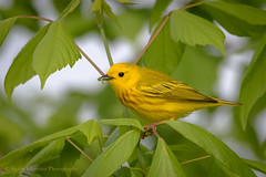 Yellow Warbler (Kevin James54) Tags: dendroicapetechia lakegalena nikond850 peacevalleypark tamron150600mm yellowwarbler animals avian bird kevingianniniphotocom