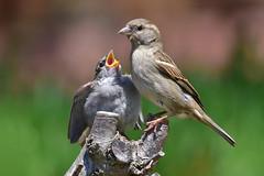 DSC_1690 Maman moineau et son oisillon (sylvette.T) Tags: 2019 oiseaux birds moineaux sparrows mamanmoineauetsonoisillon animaux coth5