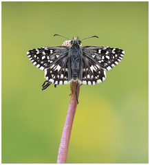 Grizzled Skipper - Pyrgus malvae. (nigel kiteley2011) Tags: grizzledskipper pyrgusmalvae butterfly lepidoptera butterflies nature macro insects canon 5dmk3 sigma180mm