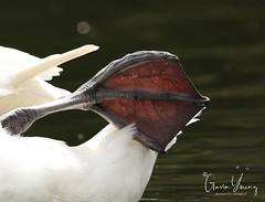 Swans foot up close (Gavin E Young) Tags: swan foot close up macro bird webbed canon 5ds