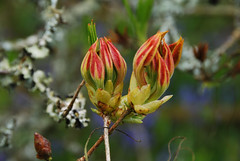 Azalea buds (Errols Cuz) Tags: flowers nature salterbridgehouse cappoquin countywaterford ireland teresaflynn azalea