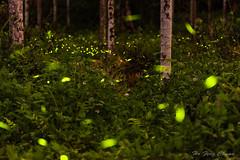螢光舞動_DSC8398N (何鳳娟) Tags: 螢火蟲 火金姑 fireflies 三生緣 鹿谷 南投