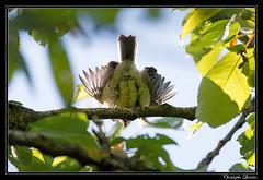Les petites mésanges charbonnières ont quitté le nichoir (cquintin) Tags: chordata vertebrata aves passeriformes parus major paridae