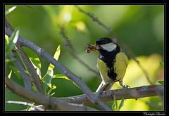 Mésange charbonnière (Parus major) (cquintin) Tags: chordata vertebrata aves passeriformes parus paridae major mésange charbonnière