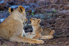 "Hey mother, what's up. (Lassetjus photo) Tags: nikon lioncub lion ""southafrica"" zimanga d850 300mm f4 pf"