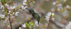 Ruby Throated Hummingbird (Arvo Poolar) Tags: outdoors ontario canada scarborough arvopoolar nikond500 nature naturallight natural naturephotography rubythroatedhummingbird inflight wings flowers male