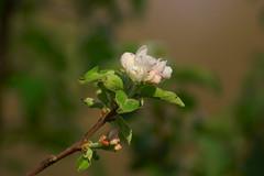 Цветы яблони / Flowers of apple tree (Владимир-61) Tags: весна апрель природа цветы цветение яблоня spring april nature flower blossom appletree sony ilca68 minolta75300 natureinfocusgroup