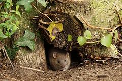 DSC09897A (simonbalk523) Tags: rat wildlife wild mammal animal nature arundel wetlands centre sussex sony tamron photography