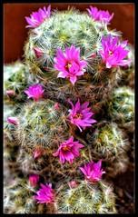 Cactus florecido (jorgerodríguez7) Tags: cactus cactusflower cactusflorecido florescactus flores
