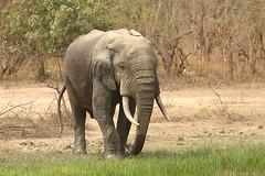 Savanna elephant, Mole National Park, Ghana (inyathi) Tags: africa westafrica ghana africananimals africanwildlife africanelephants savannaelephants elephants loxodontaafricana molenationalpark